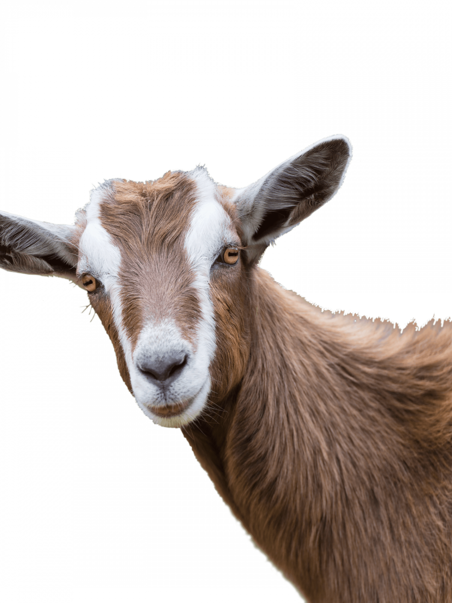 brown-goat-1